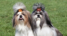 NYC Events, Westminster Dog Show